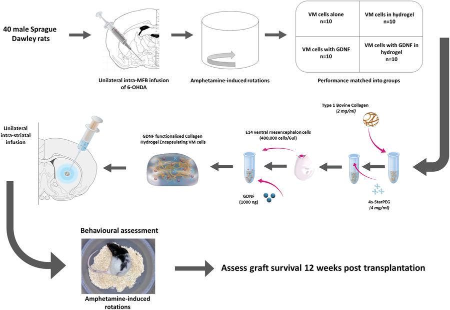 Trapianto staminali riparazione dei neuroni nella malattia di Parkinson